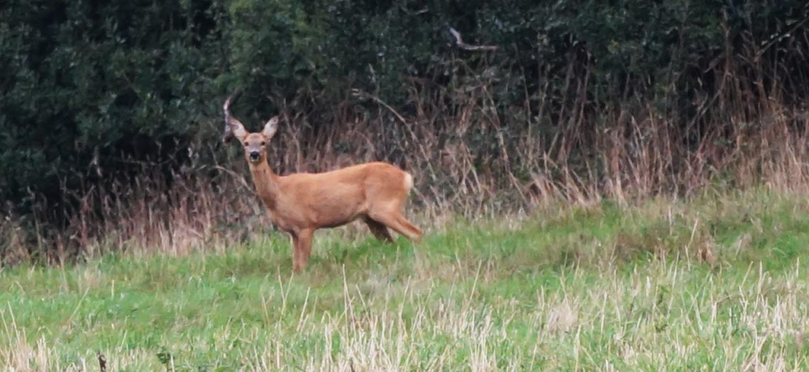 Deer on North Tawton Footpath Walk